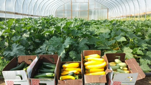 The summer squash harvest from the greenhouse!